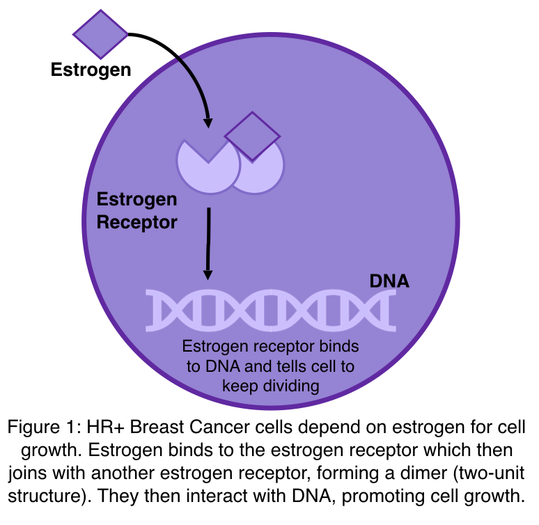 A figure to show how estrogen receptor positive breast cancer cells depend on estrogen for cell growth