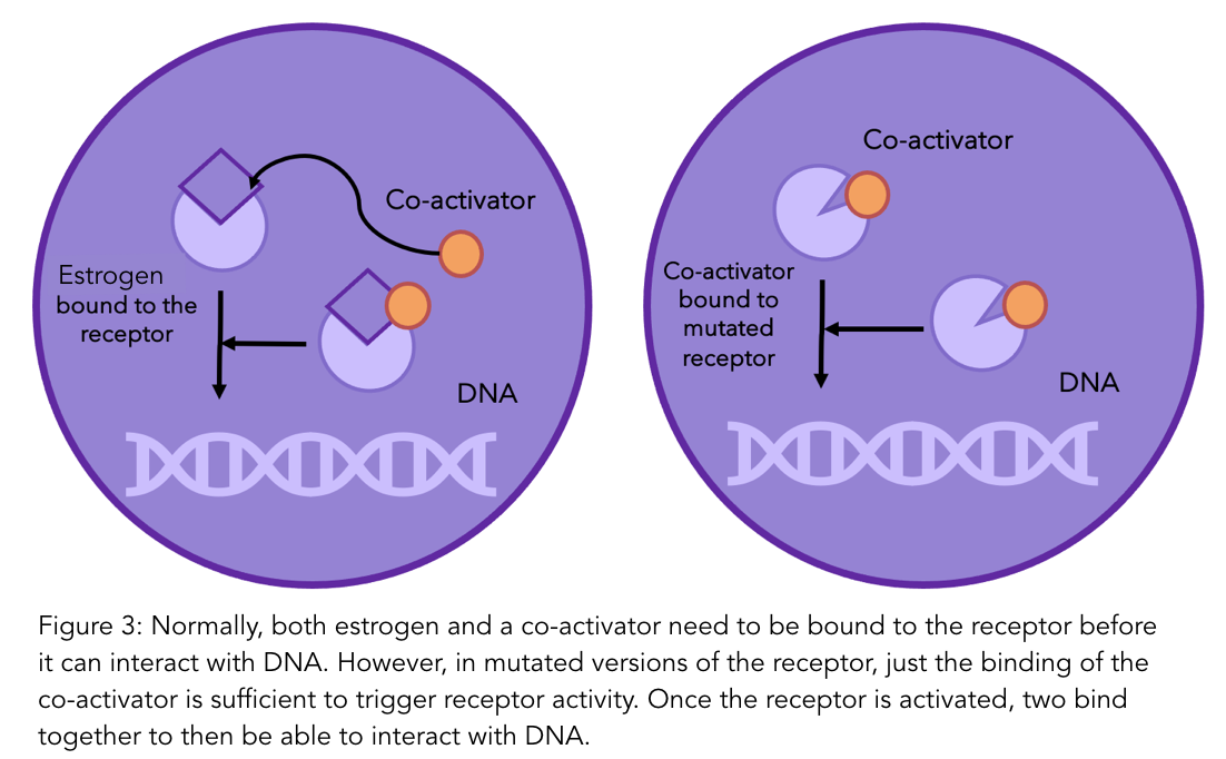 A figure showing how estrogen and a co-activator are required to interact with DNA, but not in mutated versions of the receptor.