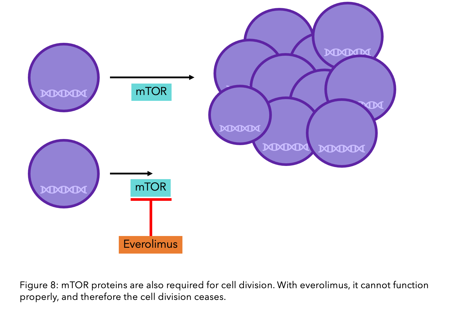 A figure to show how mTOR proteins are required for cell division and how everolimus ceases this function.