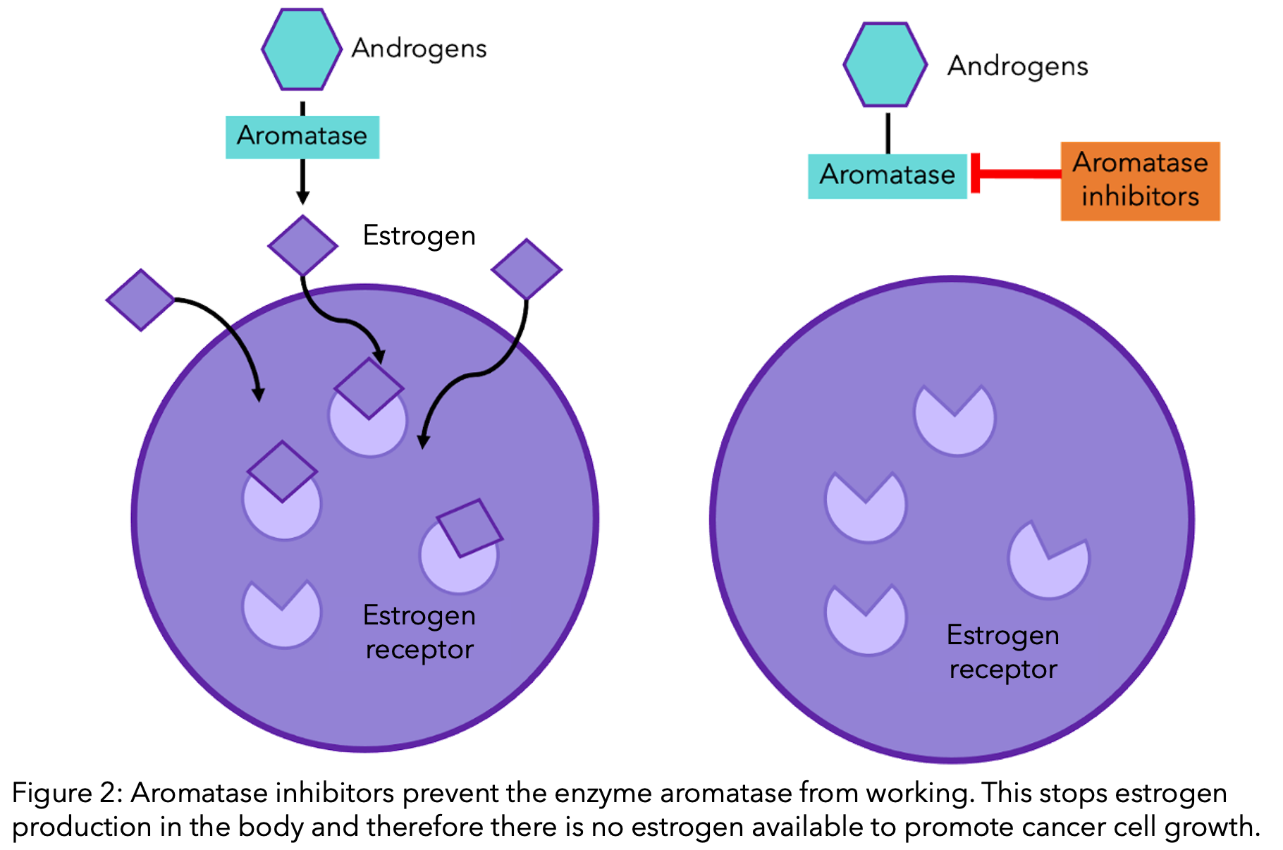 Aromatase inhibitors prevent the enzyme aromatase from working. This stops estrogen production in the body and therefore there is no estrogen available to promote cancer cell growth.